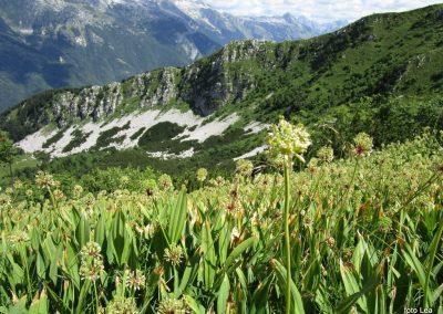 039 polje čemaža na severni strani grebena, 11.36