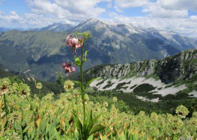 041 turška lilija