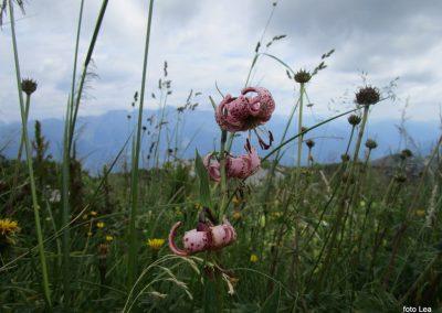 135 turška lilija