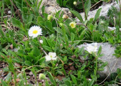 031 cvetje ob poti, marjetičastolistna nebina