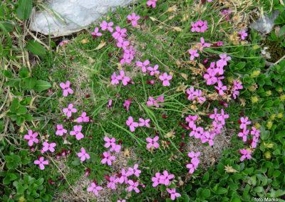 033 cvetje ob poti, brez stebelna lepnica
